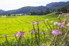 Green rice terrace field with pink flowers in foreground Royalty Free Stock Image