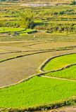 Green rice terraced fields Royalty Free Stock Image