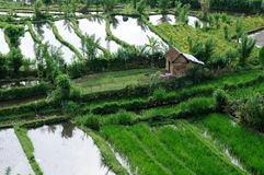 Green rice terraces Stock Image