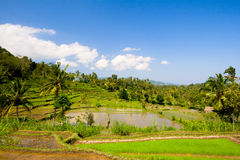Green rice terraces. On Bali island Stock Photos