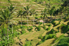 Green rice terraces in Bali, Indonesia Royalty Free Stock Photo