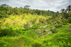 Green rice terraces on Bali island Stock Images