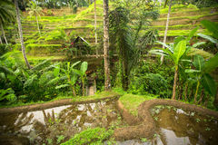 Green rice terraces in Bali island, Indonesia. Nature. Royalty Free Stock Images