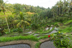 Green rice terraces in Bali island, Indonesia. Nature. Stock Photography