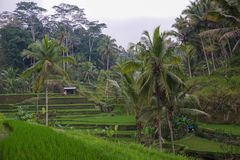 Green rice terraces in rice fields on mountain near Ubud, tropical island Bali, Indonesia, Tegallalang royalty free stock image