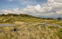 Green rice terraces near Batutumonga Royalty Free Stock Images