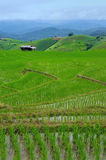Green Rice Terraces Stock Photo
