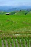 Green Rice Terraces. The rice terraces in rainy season. GREEN RICE FIELD AT MAE JAM Stock Photo