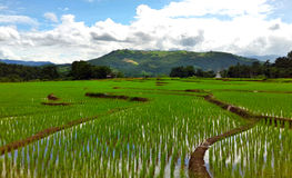 Green Rice Terraces. The rice terraces in rainy season. GREEN RICE FIELD AT MAE JAM Royalty Free Stock Image