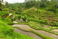 Green rice terraces in Ubud, Bali island Royalty Free Stock Photo