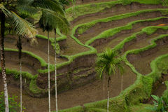 Green Rice terraces view with palm trees Stock Images