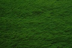 Green rice in uncle`s rice fields royalty free stock images