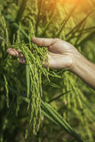 Green rice in woman's hands Stock Photography