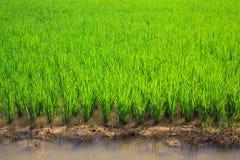 Green ricefältet royaltyfri bild