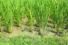 green ricefield Royaltyfria Bilder