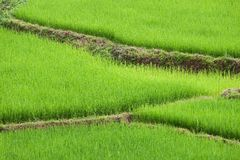 Green ricefield Stock Image