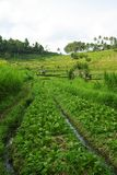 Green ricefields in Bali. A typical landscape in Bali island : terrace ricefields and palms royalty free stock images