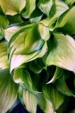 Green-Rimmed Hosta Leaves. Detailed view of green-rimmed white hosta leaves Stock Photography