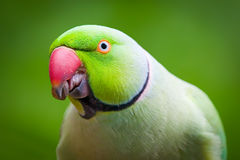 Green ring-necked parakeet, eating a nut. A green ring-necked parakeet with a red beak, eating a nut Royalty Free Stock Images