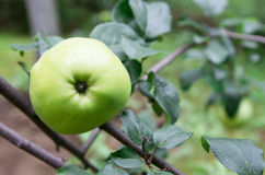 Green ripe apple on a tree outdoors. Close-up Royalty Free Stock Images