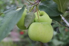 Green ripe apples on branch 20501 Stock Photo