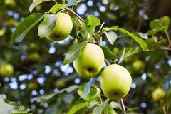 Green ripe apples growing in the garden stock photography