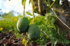 Green ripe avocado on the tree, avocado plantation. Healthy food Stock Photography