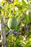 Green ripe avocado on the tree, avocado plantation Royalty Free Stock Images