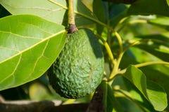 Green ripe avocado on the tree, avocado plantation Royalty Free Stock Photo