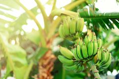 Green ripe bananas on palm tree. Summer and travel concept. Copy space. Banana fruits bunch with sun leaks effect. Green ripe bananas on palm tree. Summer and royalty free stock photo