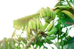 Green ripe bananas on palm tree. Summer and travel concept. Copy space. Banana fruits bunch with sun leaks effect. Green ripe bananas on palm tree. Summer and stock photo