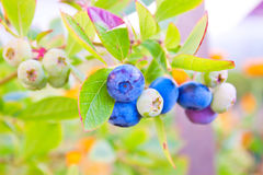 Green and ripe blueberries Stock Image
