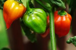 Caribbean Red Habanero peppers. Green and ripe Caribbean Red Habanero peppers growing on the plant royalty free stock photo