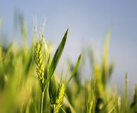 Green ripe ears of wheat grow and ripen in the field in the  sun. Green ripe ears of wheat grow and ripen in the field in the summer sun Stock Photos