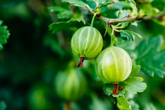 Green Ripe Gooseberry In Fruit Garden Royalty Free Stock Photography