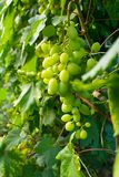 Green ripe grapes on a branch stock photo