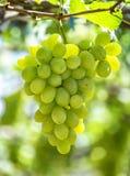 Green ripe grapes in the garden Stock Photo