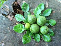 Key lime fruits. Green ripe key lime or citrus aurantifolia fruits and leaves on tree stump outdoors stock images