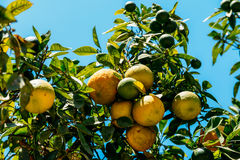 Green And Ripe Oranges In Tree Royalty Free Stock Photo