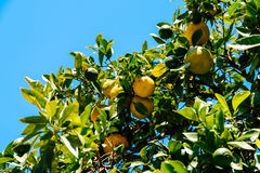 Green And Ripe Oranges In Tree Stock Photos