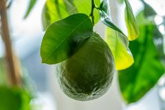 Green ripe raw lime with leaves on a tree branch closeup . Concept of growing fresh citrus fruit. Green ripe raw lime with leaves on a tree branch closeup . The royalty free stock photos