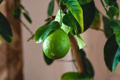 Green ripe raw lime with leaves on a tree branch closeup . Growing fresh citrus fruit. Green ripe raw lime with leaves on a tree branch closeup . Concept of royalty free stock photo