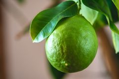 Green ripe raw lime with leaves on a tree branch closeup . Growing fresh citrus fruit. Green ripe raw lime with leaves on a tree branch closeup . Concept of royalty free stock photos