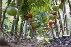 Green and ripe tomatoes Royalty Free Stock Photography