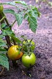 Green and ripe tomatoes on the stem of the bush in the garden at the ground Stock Image