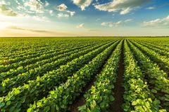 Free Green Ripening Soybean Field Stock Photos - 119348643