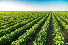 Free Green Ripening Soybean Field, Agricultural Landscape Stock Images - 119268984
