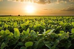 Green ripening soybean field. Agricultural landscape stock photos