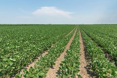 Green ripening soybean field. Rows of green soybeans. Soy planta. Tion. Agriculture Royalty Free Stock Photo