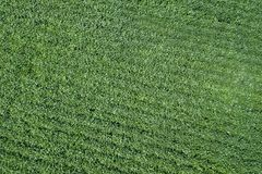 Green ripening soybean field. Rows of green soybeans Aerial stock photography